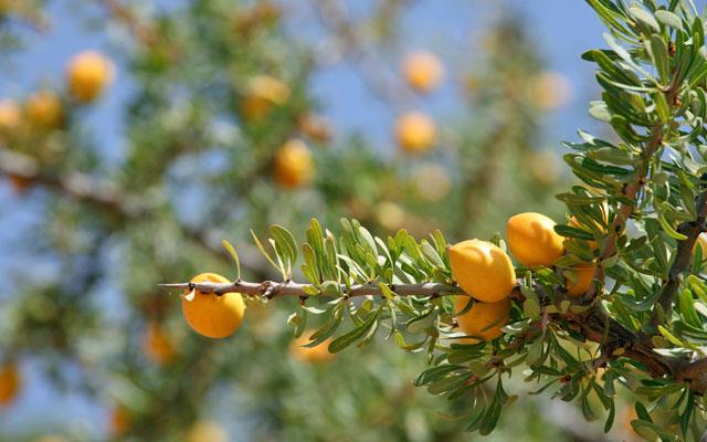 Arganovi sadeži